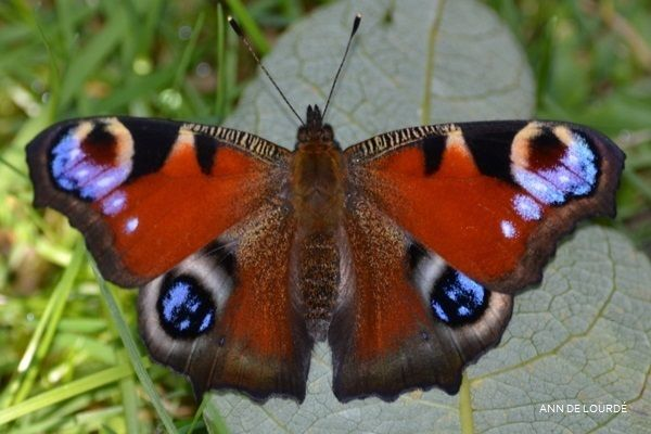 European Peacock, Aglais Io, Summer 2015, in the Garden.