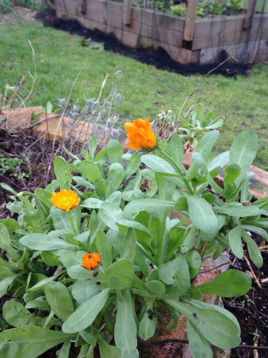 Calendula officinalis Pot Marigold takes its name from