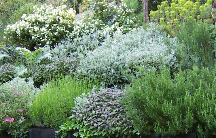 Uberlegen Silberlaubige Pflanzen  Garten  Topfpflanze Graue Weiss Blühende Gartengestaltung