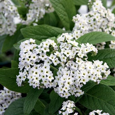 White heliotrope for my moongarden which i am re doing this spring sweet vanilla like fragrance with undertones of almond the purple flowered varieties are the popular but the white flowering are the most fragrant mightylinksfo