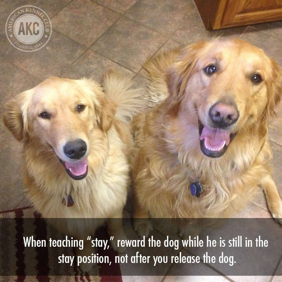 While Teaching Stay Reward The Dog While He Is Still In The