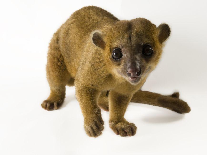 Kinkajou Google Search Rainforest Animals Amazon Rainforest