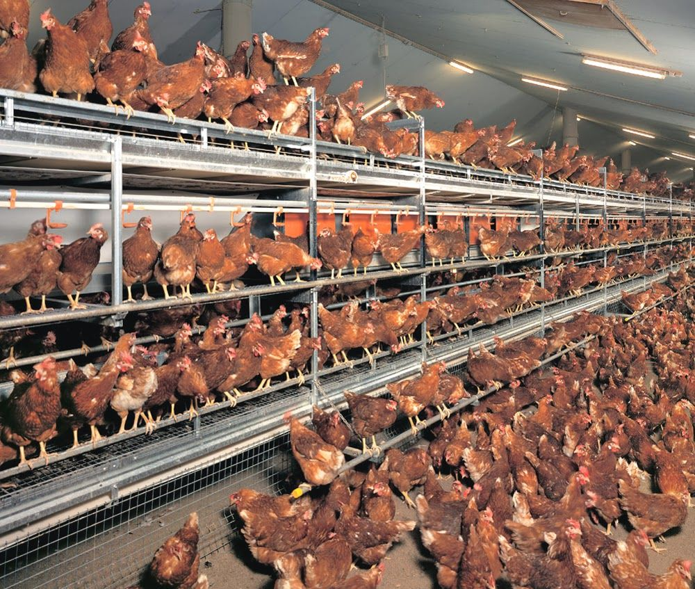 Layer Poultry Housing Poultry House Poultry Cage Farm Design Backyard poultry farming in nigeria