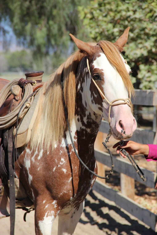Costa Rican Paso Treasure Of Costa Rica Beautiful Horses Horses Horse Classifieds