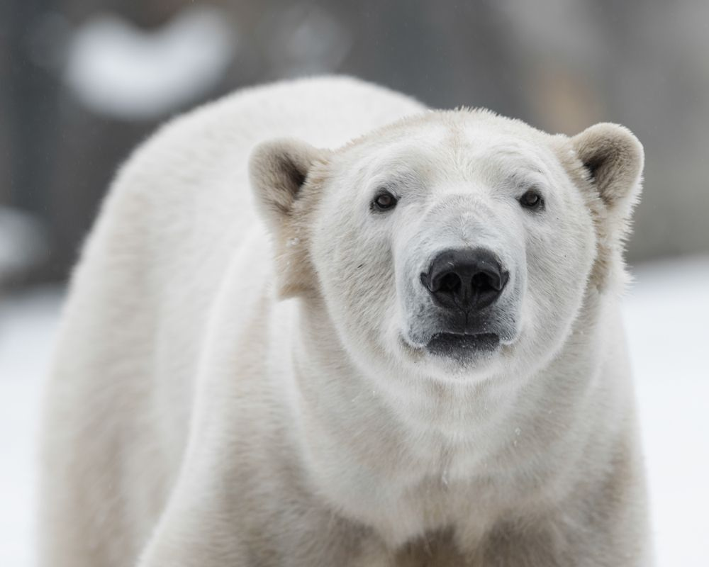 Google Street View Maps Out the Polar Bear Capital of the World and it's Awesome