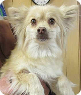 Reeds Spring Mo Pomeranian Tibetan Spaniel Mix Meet Flo A Dog For Adoption Http Www Adoptapet Com Pet 12473126 Reeds Pets Dog Adoption Tibetan Spaniel