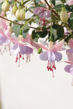 Mauve The Suntory Collection For Gardeners Fuchsia Flowers Fuchsia Plant Fuchsia Flower