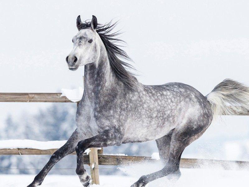 Un cheval gris au galop dans la neige grey horses horse behavior et beautiful horses - Comment dessiner un cheval au galop ...