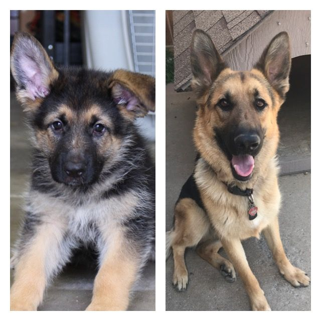 German Shepherd At 8 Weeks And 1 Year And 8 Weeks A Year Later