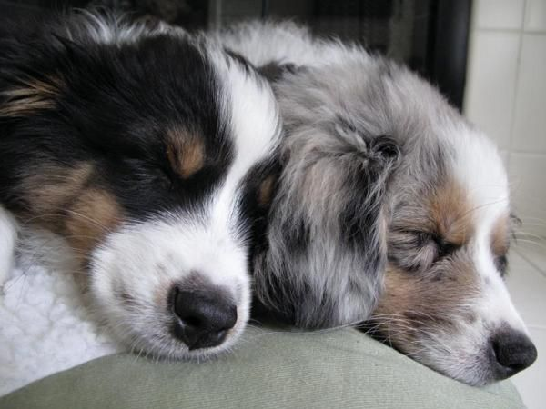 Australian Shepherd Puppies Black Tri And Blue Merle Aussie Dogs Aussie Puppies Australian Shepherd