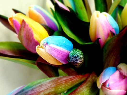 Rainbow tulips: They're created by splitting the stem. As petals get their nourishment through stems, the idea is to split it into several channels and dip each one in a different colored water.