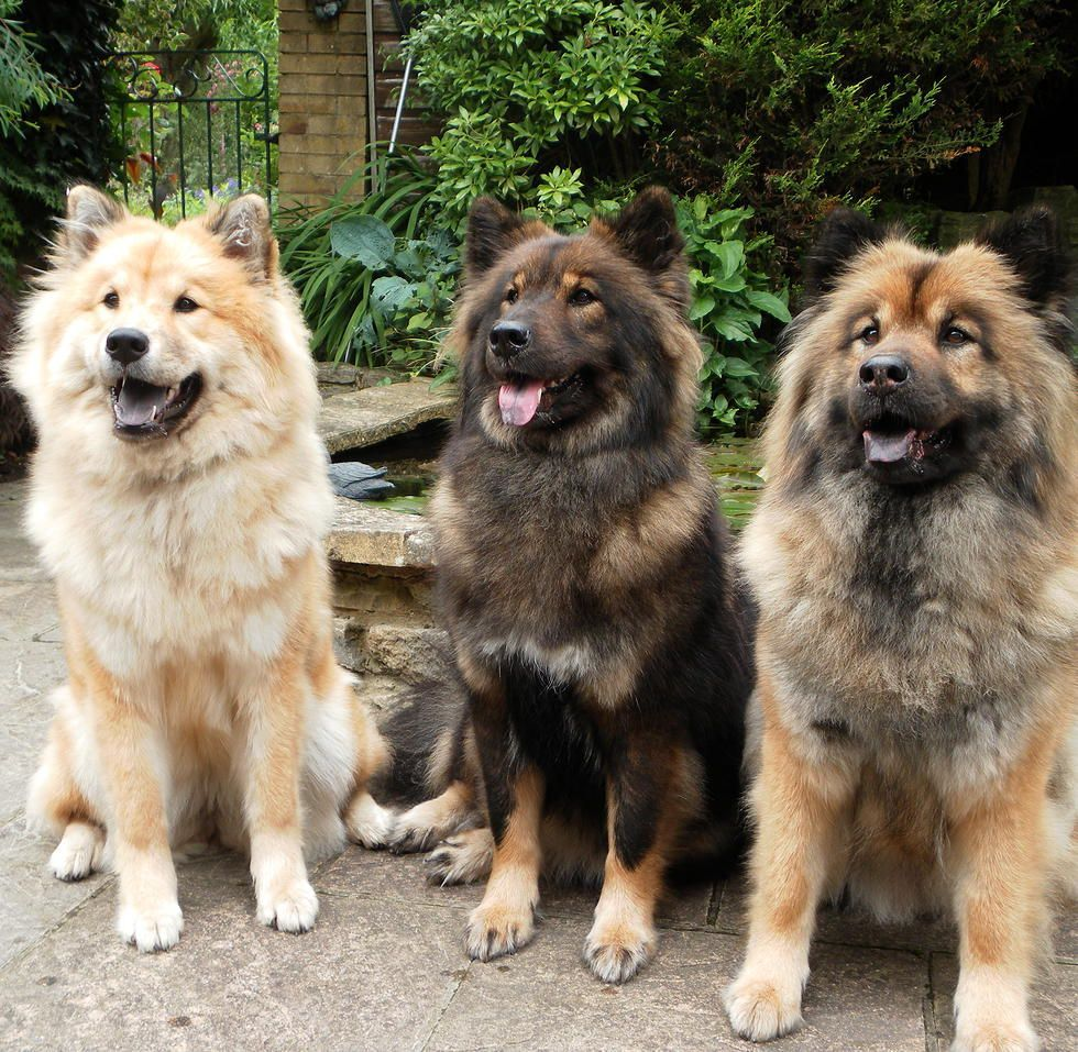 Willowfalls Eurasiers Southampton In 2020 Dog Breeds Beautiful Dogs Dogs
