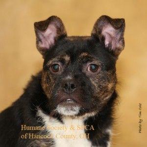 Bongo Humane Society And Spca Of Hancock County Findlay Oh