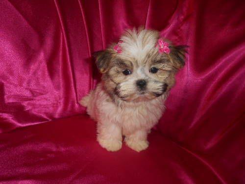 Teacup Maltese Designer Mix Boy Girl Maltzu Nonshed 8wks Cute Puppies Cute Animals Mixed Boy