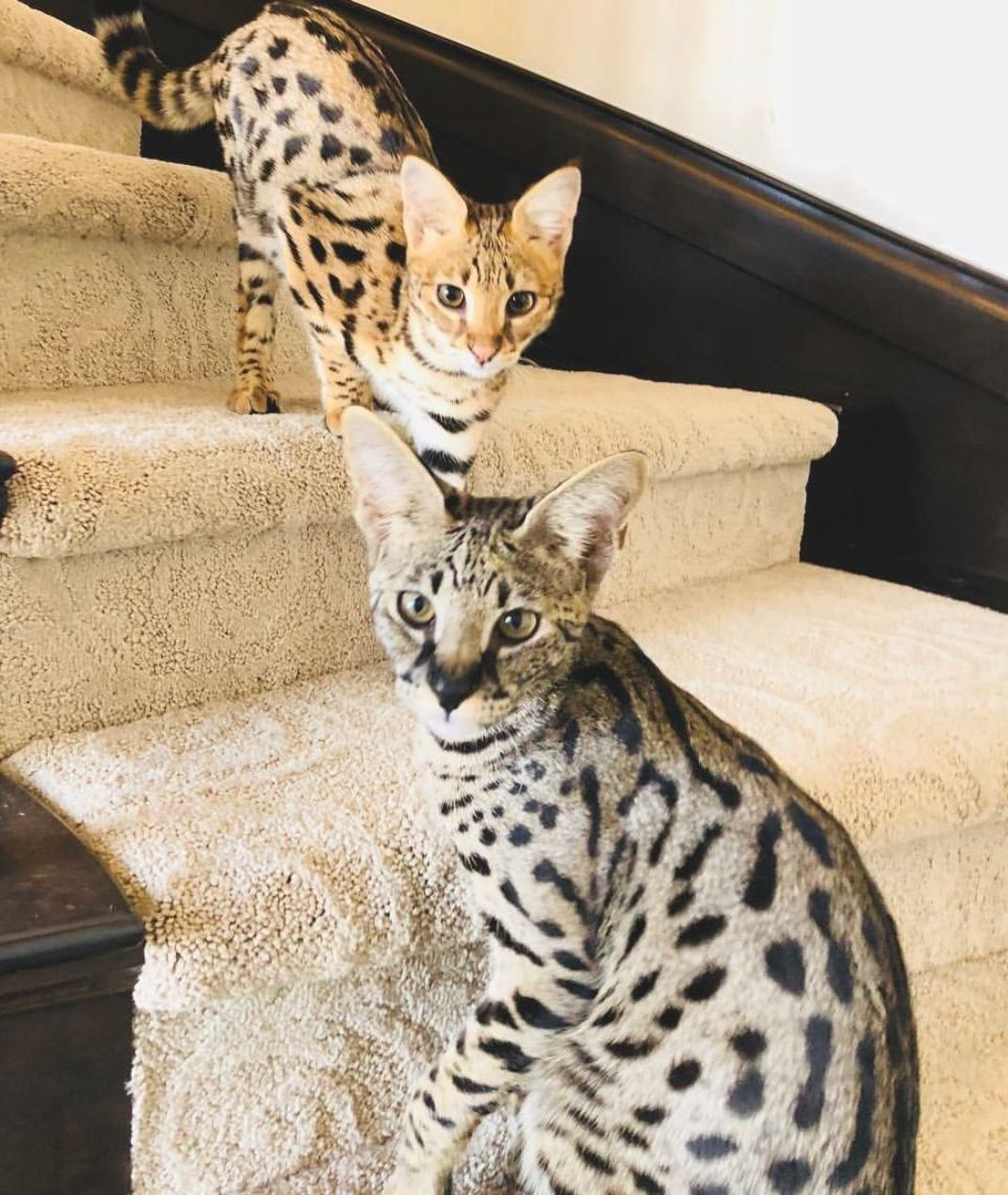Pin On Savannah Cats