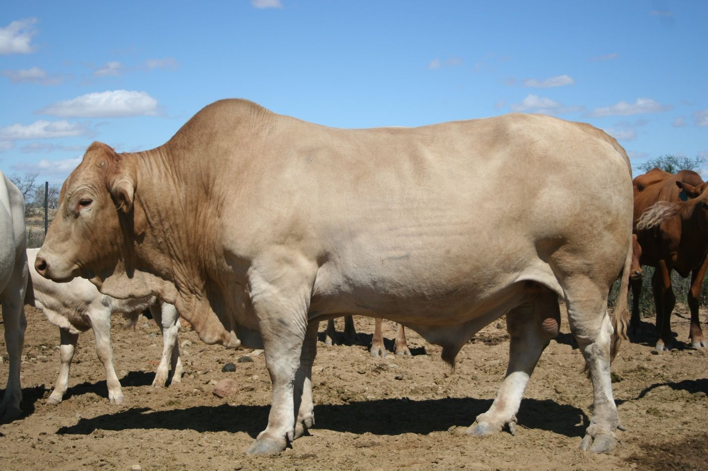 tuli bull bulls pinterest cattle beef cattle and cow