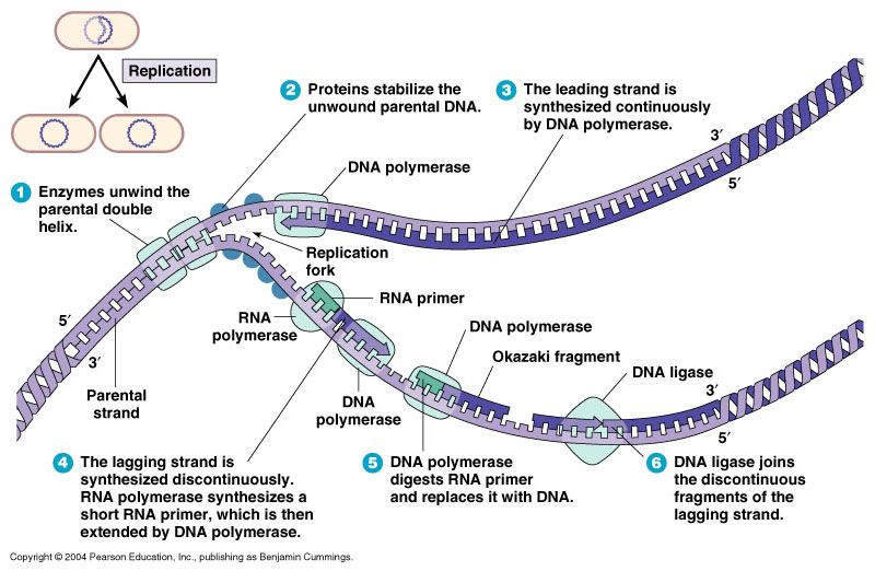 Microbial genetics 2 dna replication science pinterest dna microbial genetics 2 dna replication ccuart Choice Image