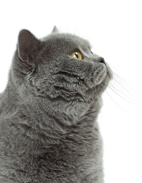 British Shorthair Cat In 2020 British Shorthair Cats British Shorthair British Blue Cat