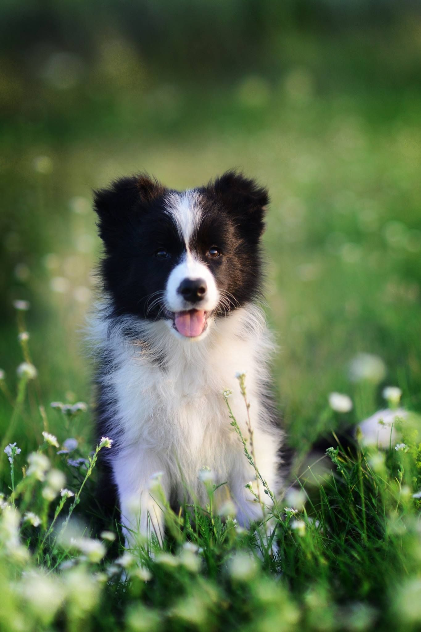 Border Collie Collie Dog Beautiful Dogs Collie Puppies