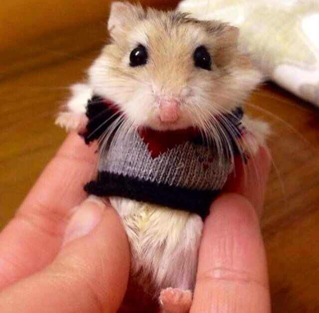 A hamster in a sweater... I repeat, a hamster. In a sweater.