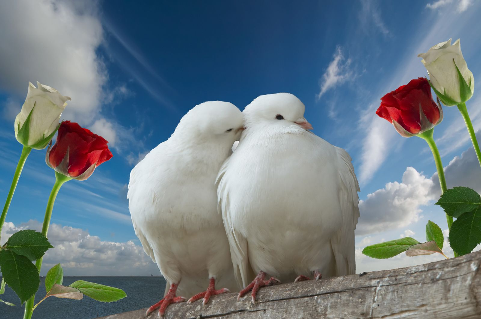 Pictures of doves whentalking doves is a symbol of peace and pictures of doves whentalking doves is a symbol of peace and love on valentines biocorpaavc