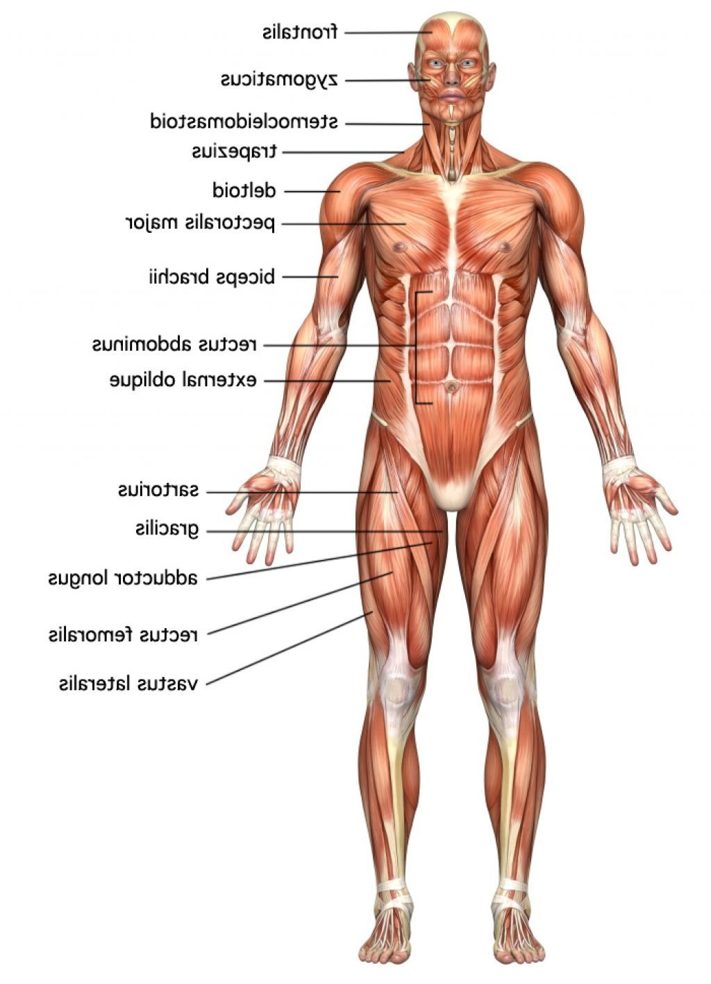 diagram of human body muscles – citybeauty, Muscles