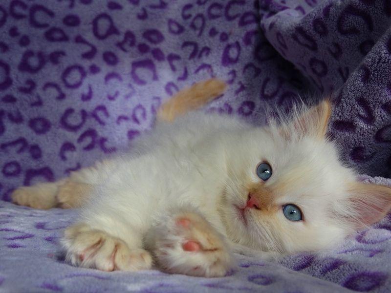 Red Point Ragdoll Kitten Siberian Kittens Munchkin Cat Ragdoll