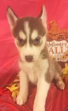 Litter Of 9 Siberian Husky Puppies For Sale In Inman Sc Adn 44671