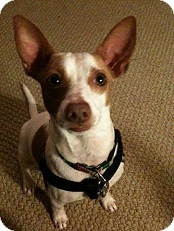 Resue Dog In Need Of Home Adopt Dog Jackrussel Seattle Washington With Images Kitten Adoption Pets Jack Russell