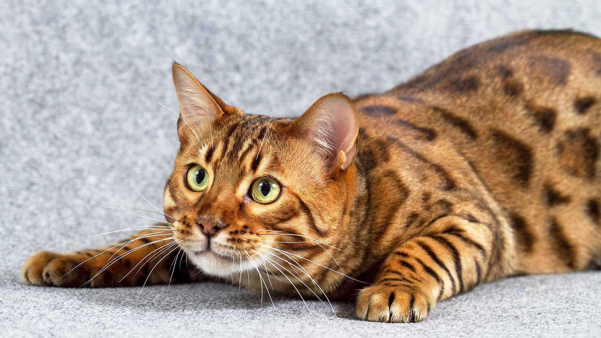 Леопардовый бенгальский кот: фото, описание, характер ...