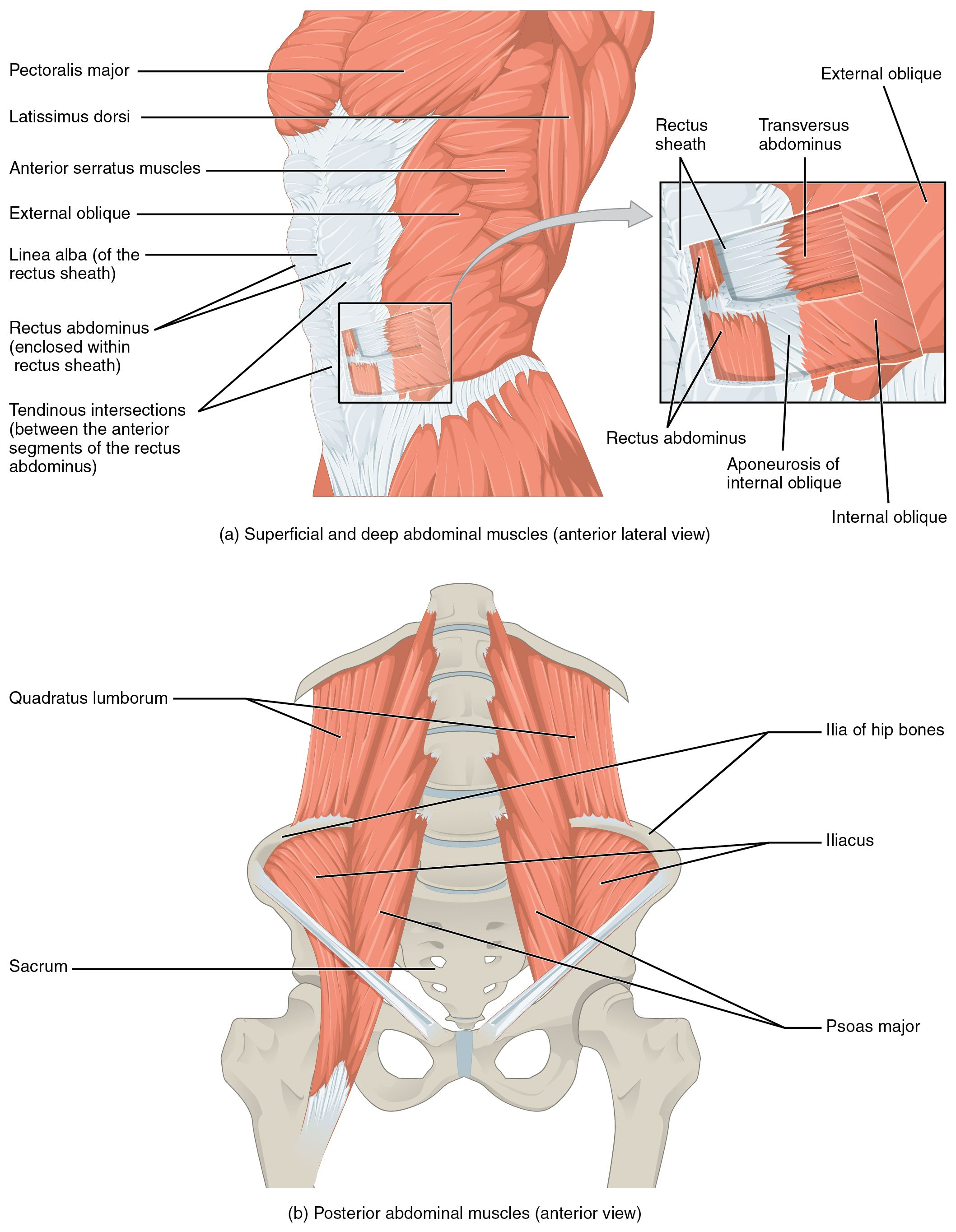 transversus abdominis | ... the transversus abdominis and the rectus ...