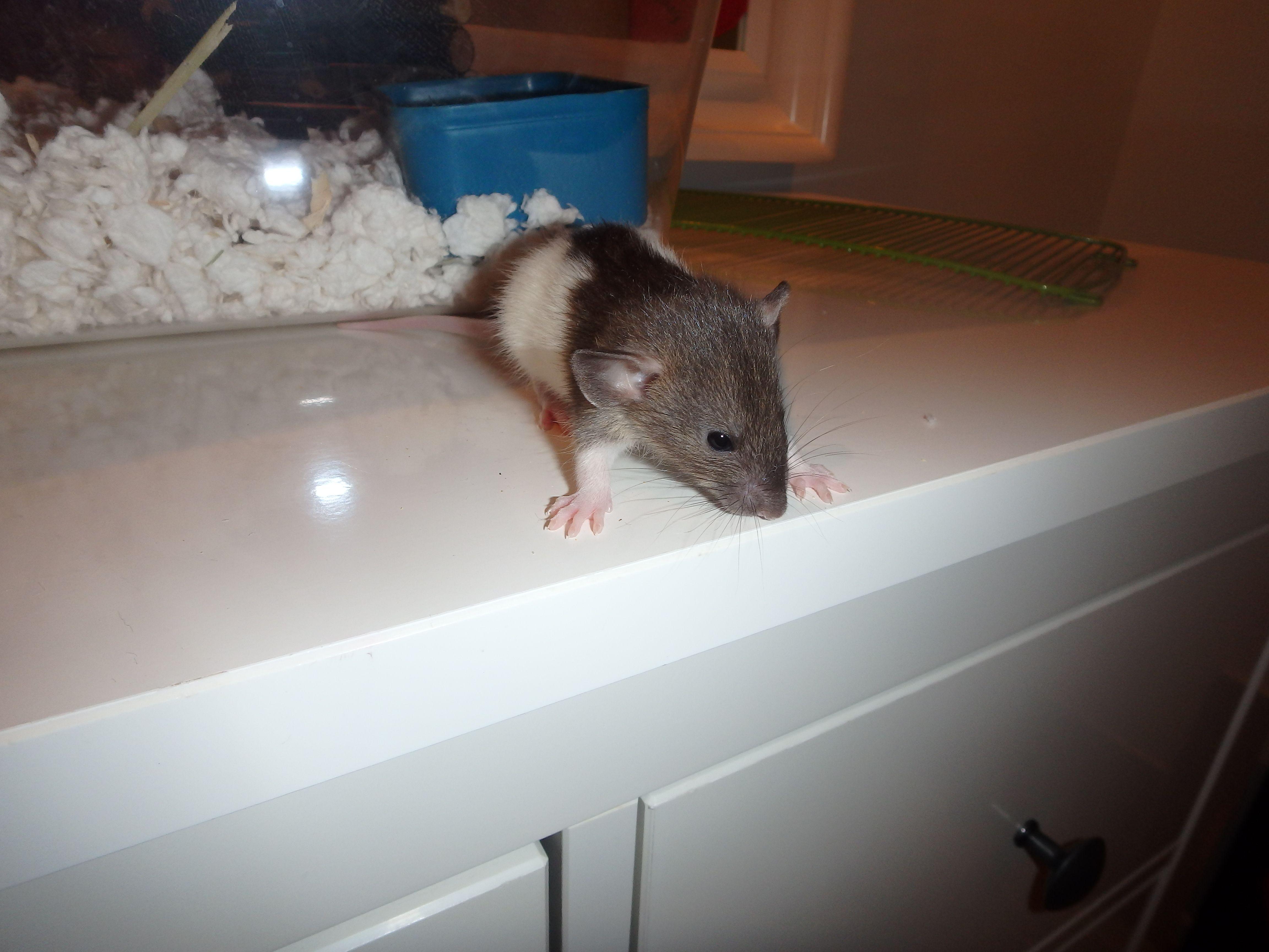 Careful Rat Baby Pet Rats Pet Adoption Rats
