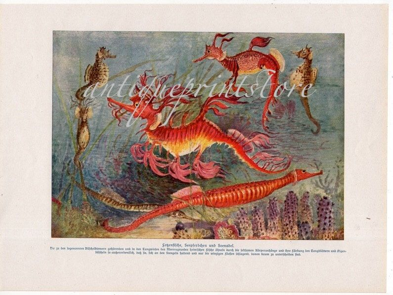 1912 Extremely Rare Sea Dragon Seahorse Original Antique Ocean Print Color Lithograph By Antiqueprintstore On Etsy