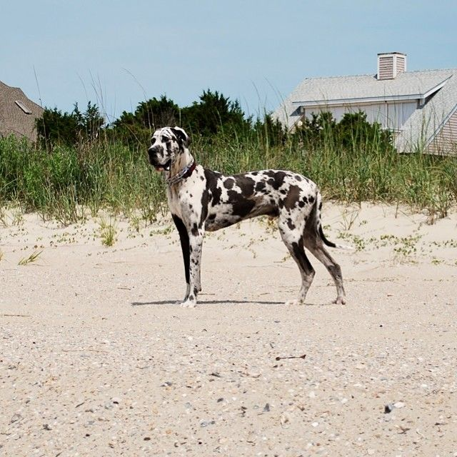 Bruce The Greatdane Great Dane Breed Dog Harlequin