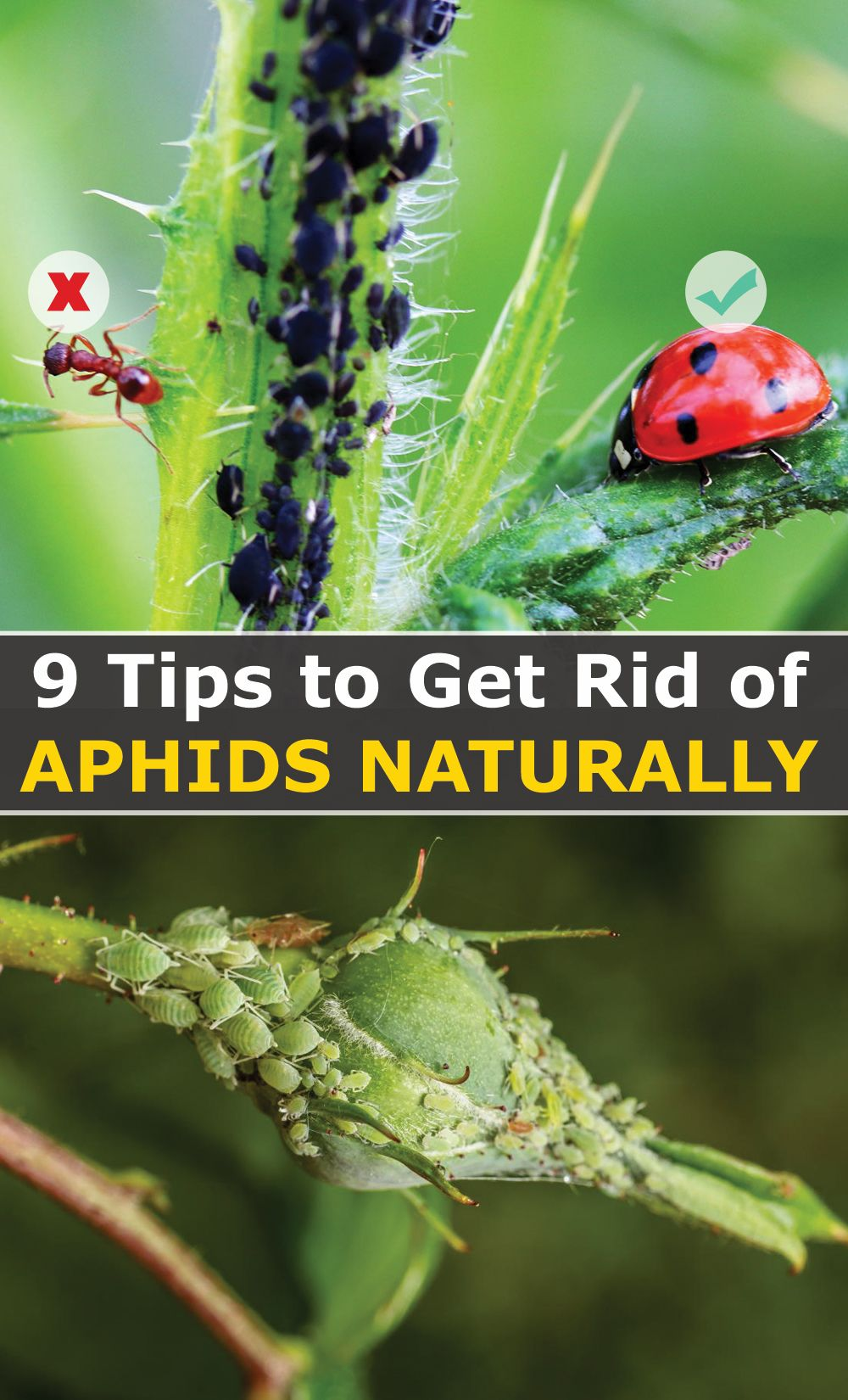 9 Tips To Get Rid Of Aphids Naturally Only What Works In 2020 Get Rid Of Aphids Aphids How To Get Rid