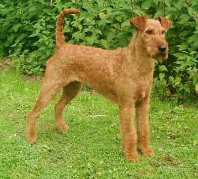 Irish Terrier This Magnificent Creature Must Rule The House For