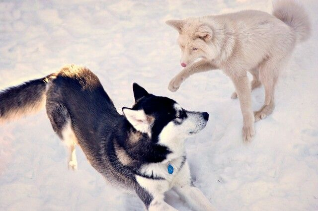 Domesticated Champagne Fox playing with friend :)