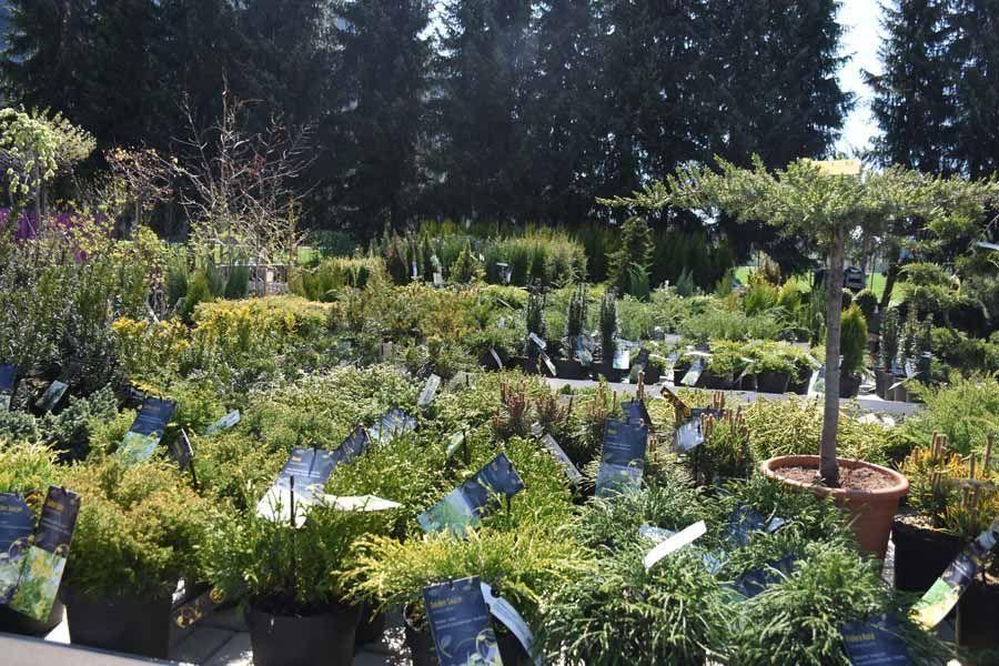 GRÜN #kletterpflanzenwinterhart #Koniferen #Juniperus #Wacholder #Pinus #Zirbe #Kiefer #Latsche #Taxus #Eibe #Nadelgehölze #Stauden #Bäume #Sträucher #winterhart #grün #Elebnisgärtnerei #Hödnerhof #Ebbs #Mils #DEZ #Innsbruck #Gärtnerei #Eigenproduktion #Pflanzenwelt #Dekowelt #kletterpflanzenwinterhart GRÜN #kletterpflanzenwinterhart #Koniferen #Juniperus #Wacholder #Pinus #Zirbe #Kiefer #Latsche #Taxus #Eibe #Nadelgehölze #Stauden #Bäume #Sträucher #winterhart #grün #Elebnisgärtne #kletterpflanzenwinterhart