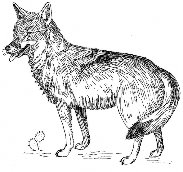 Coyote Coloring Page Fun Coloring Pages For Kids And Adults