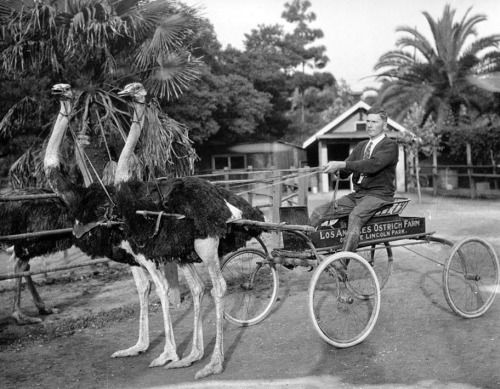 Two ostriches pulling a cart from the Los Angeles Ostrich Farm, ca.1900.