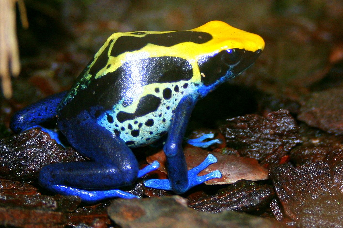 a study of the dyeing poison frog Only about an inch long, this dyeing poison dart frog, one of the big  are the  giant monkey frog from the amazon basin, a truly moving study.