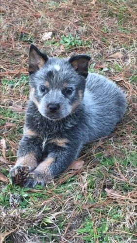 Akc Registered Australian Cattle Dog Pups For Sale For More Information Click On The Image Or See Ad 70394 On Www Ranc Australian Cattle Dog Cattle Dog Pup