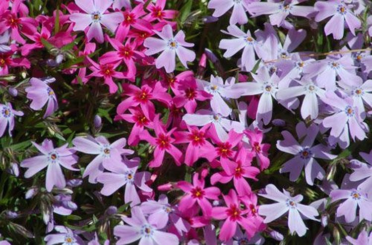 Flowering ground covers for your garden ground covering gardens flowering ground covers for your garden mightylinksfo Image collections