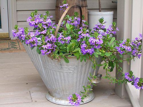 fan flower or scaevola in coalbucket