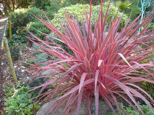 Cordyline Electric Pink Common Garden Plants Plants Landscape Design