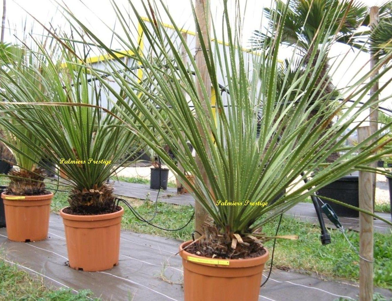 dasylirion leiophyllum resistant au gel en vente sur palmiers 1332 1023. Black Bedroom Furniture Sets. Home Design Ideas