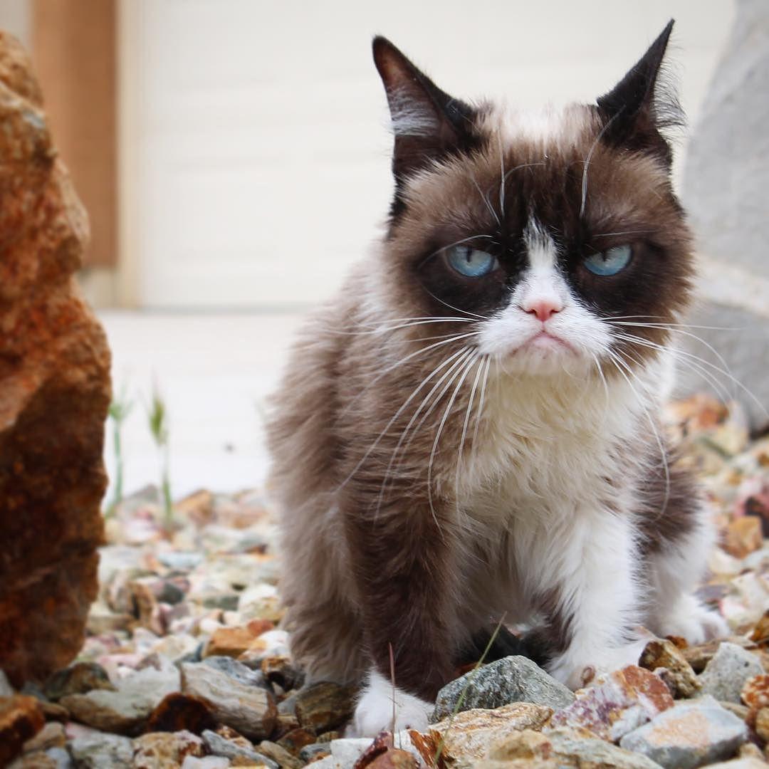 by realgrumpycat Grumpy cat, Cats, Funny cats