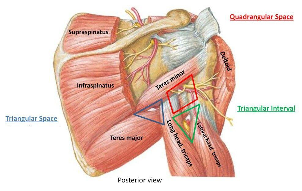 Triangular and quadrangular space... 【 Note : Axillary Nerve paases ...