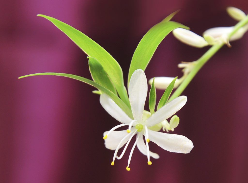 Photo of Does A Spider Plant Flower: My Spider Plant Is Growing Flowers