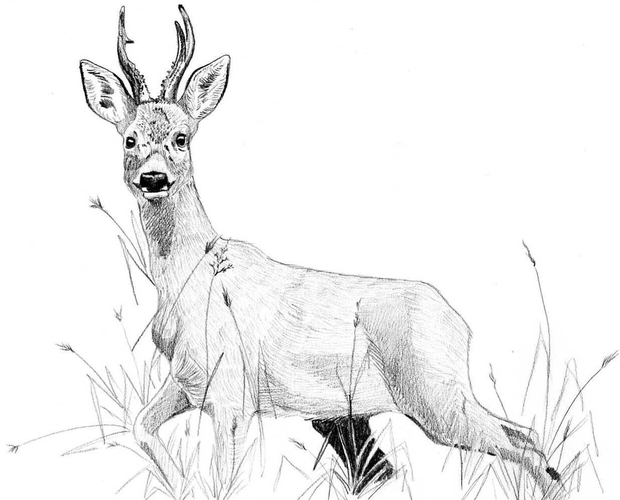 Chevreuil dessin hledat googlem animaux pinterest - Dessin de chasse ...
